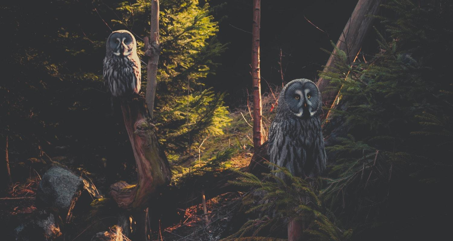 Owls of the Night Forest